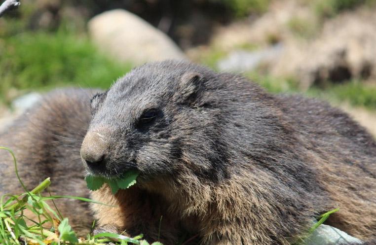 Zillertaler Murmeltiere im Murmeltierland: Wer sie aus der Nähe sehen möchte, kann das hier jederzeit tun