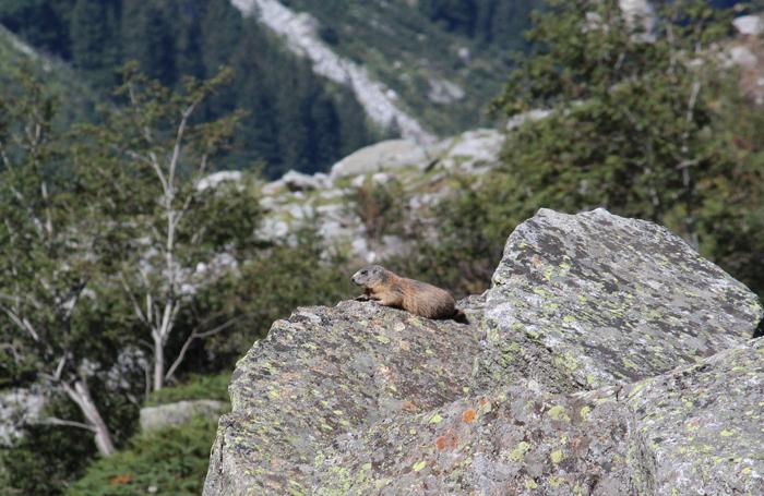Murmeltier auf Felsen im Zillertal