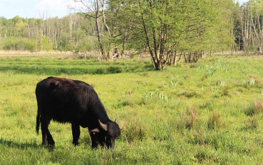 Foto vom Wasserbüffel am Tegeler Fließ
