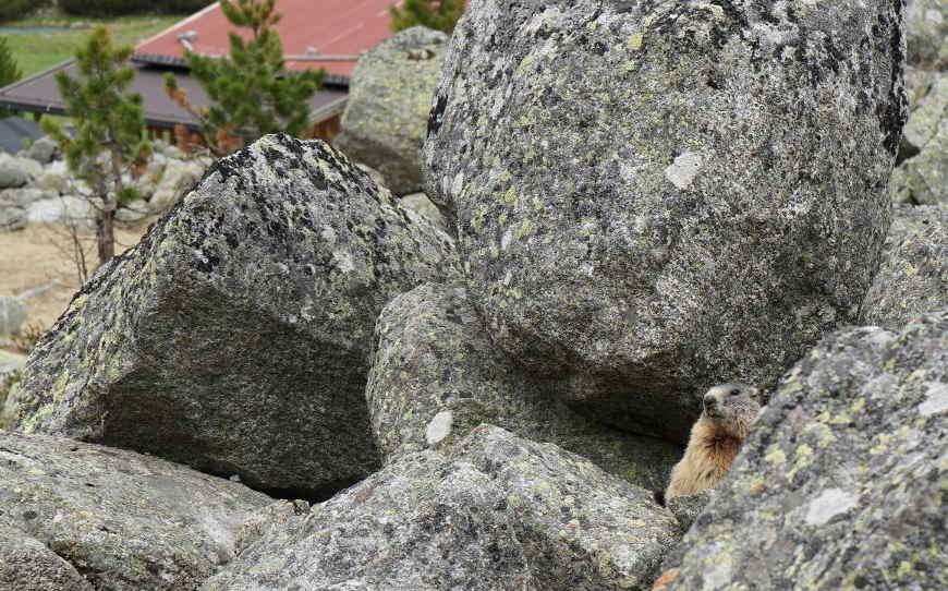 Murmeltier auf Felsen hinter der Waxeggalm
