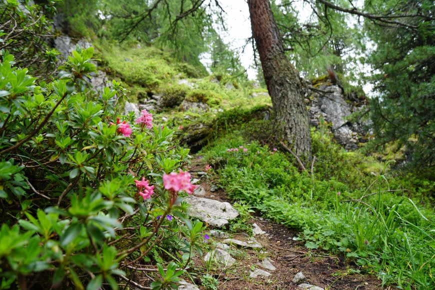 Alpenrosen Wanderung GIpfel Roller