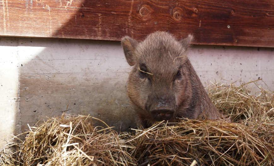 Bichlalm Hintertux Zillertal Schwein